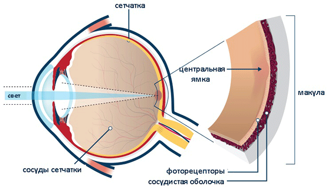 Макула глаза - что это, строение, функции, симптомы патологий